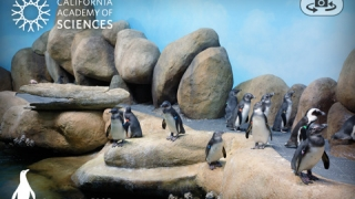 Penguins in their habitat at the California Academy of Sciences.